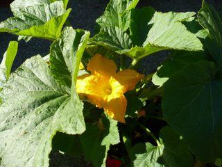 Squash plant 1