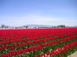 Tulips0003